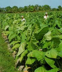 tembakau lombok