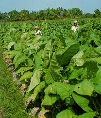 sejarah tembakau